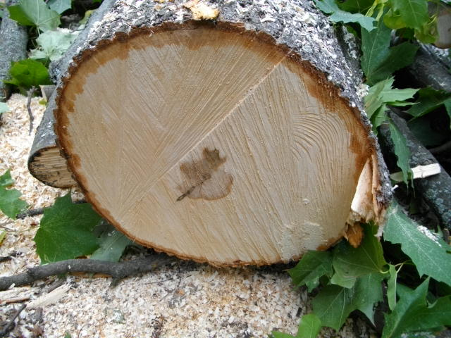 Кличко уничтожает деревья в Киеве